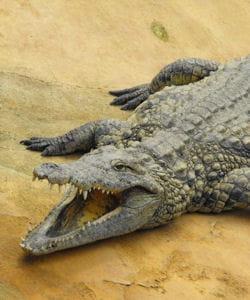 que fait un male crocodile quand il rencontre une femelle crocodile