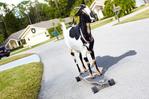 Chèvre skateuse