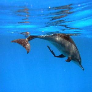 le dauphin, compagnon sympathique des marins.