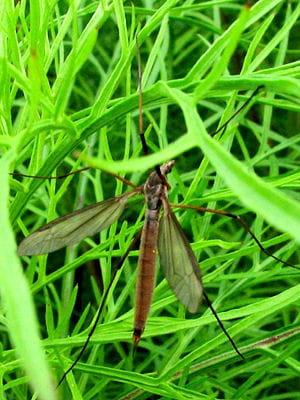 la femelle anophèle véhicule le parasite du genre plasmodium responsable du