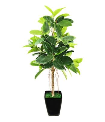 le caoutchouc l arbre immortel des plantes d 39 int rieur increvables et faciles cultiver. Black Bedroom Furniture Sets. Home Design Ideas