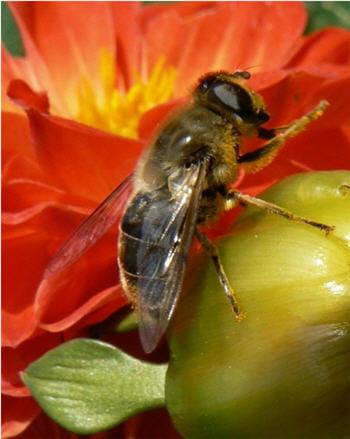 l'acarien est très nuisible pour les abeilles domestiques.