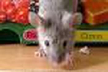 les souris au grenier comment lutter contre les. Black Bedroom Furniture Sets. Home Design Ideas