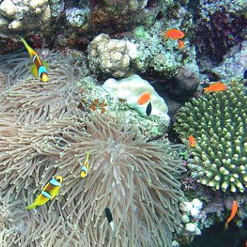 - 588653-le-corail-et-l-anemone