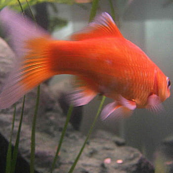 Le poisson rouge a une m moire de 3 secondes les id es for Recherche poisson rouge