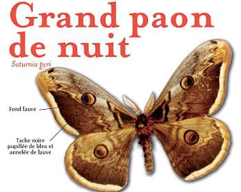Grand paon de nuit - Signification papillon de nuit ...