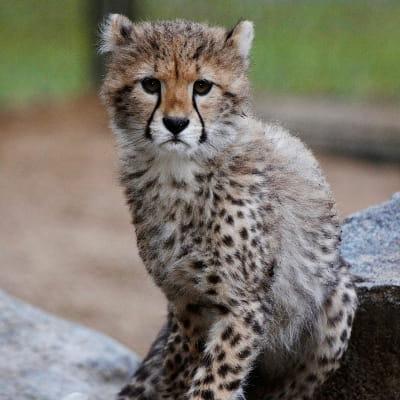 jeune guépard au zoo de la palmyre en charente-maritime.