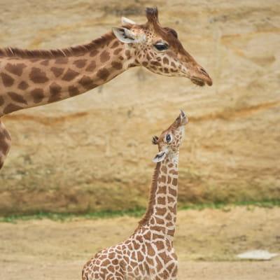 dans le maine-et-loire, le bioparc zoo de doué-la-fontaine présente plus de 800