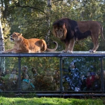 le tunnel aux lions au parc et château de thoiry dans les yvelines.