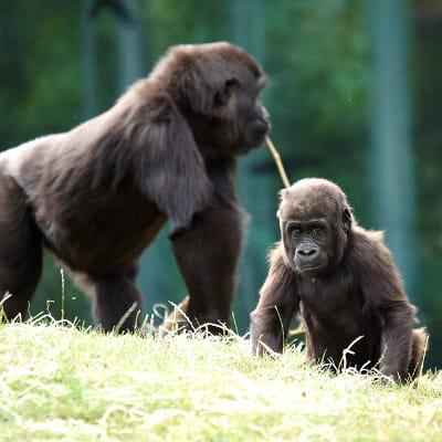 naissance de petits gorillons au zooparc de beauval dans le loir-et-cher.