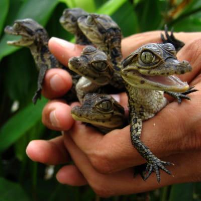 assistez à l'éclosion de ces caïmans à lunettes à la ferme aux crocodiles de
