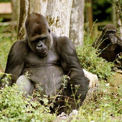 dans la vienne, 400 singes évoluent en totale liberté au sein du parc de la