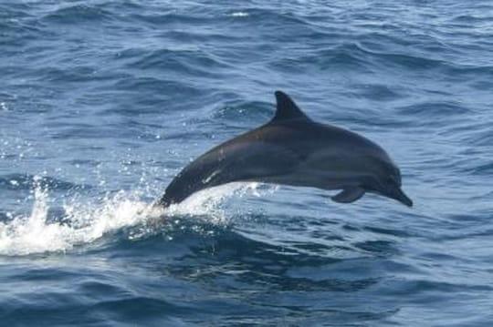 Le dauphin