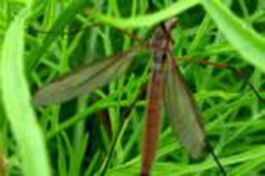 De nouveaux moustiques inoculeraient le paludisme