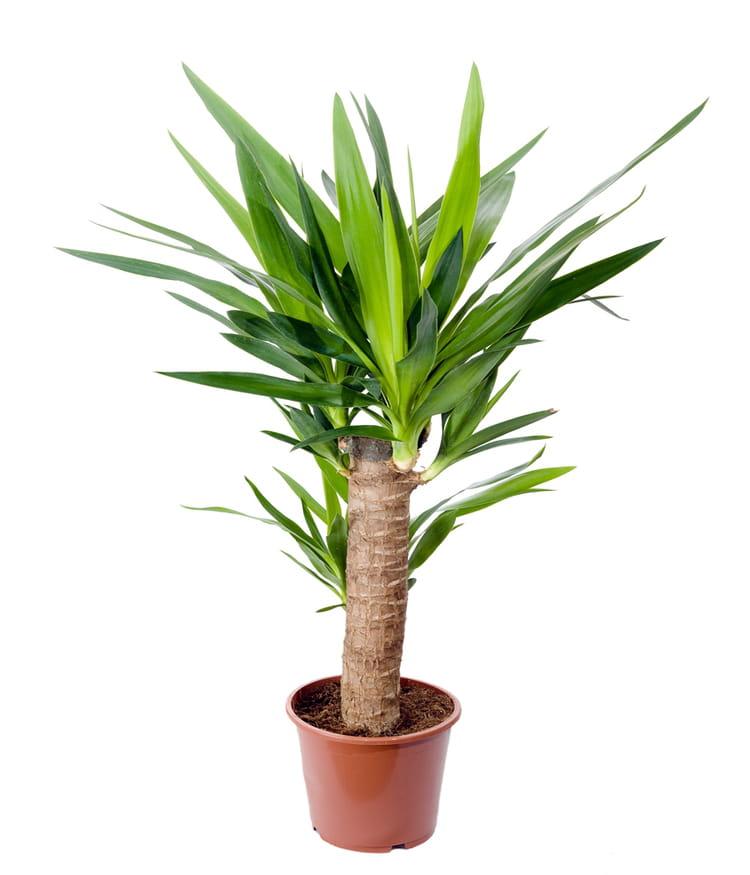 Le yucca l arbre qui traversera les g n rations des for Encyclopedie plantes interieur