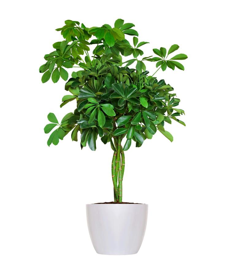 Le schefflera la plus facile vivre des plantes d for Encyclopedie plantes interieur