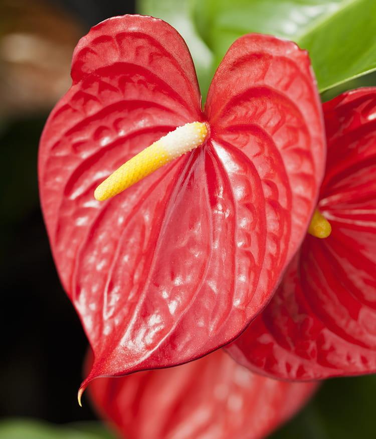L 39 anthurium la plante d int rieur incontournable ces for Encyclopedie plantes interieur