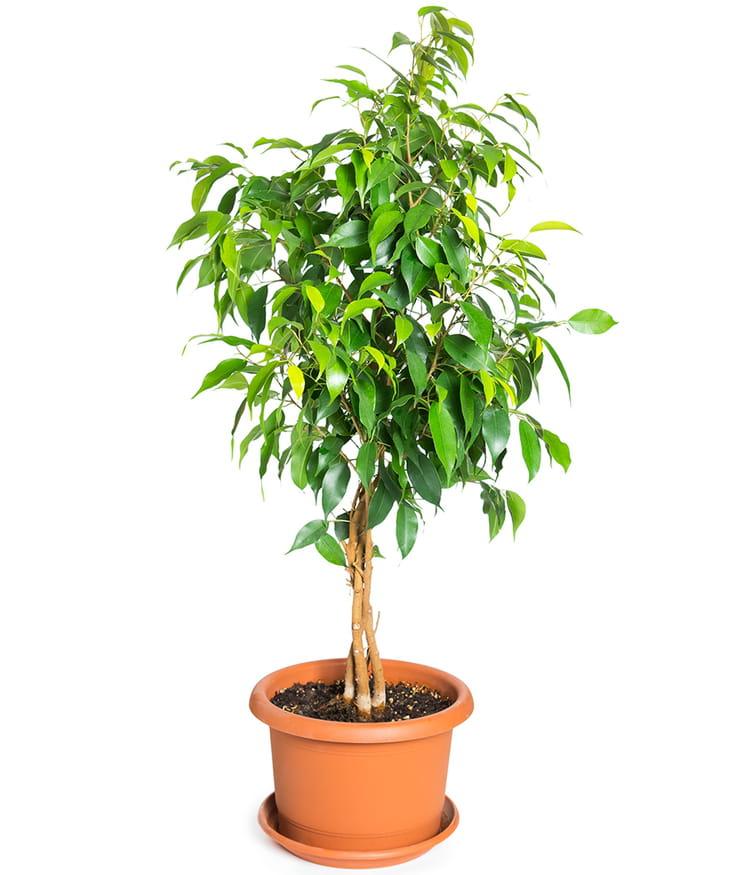 Le ficus d corer et d polluer votre int rieur ces for Les plantes interieur