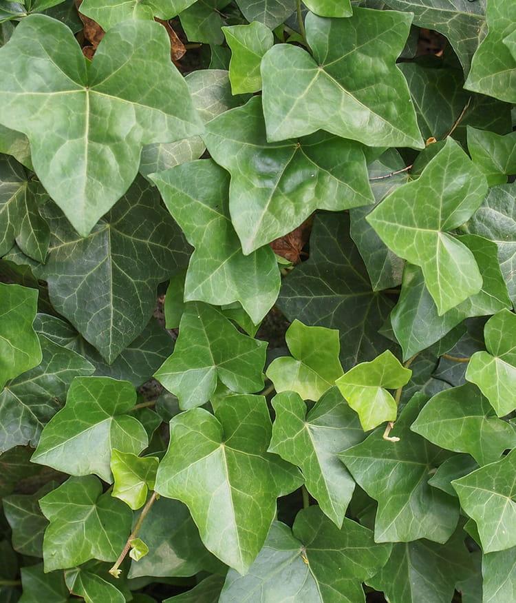 Le lierre ou la plante anti pollution ces plantes - Plante interieur anti humidite ...