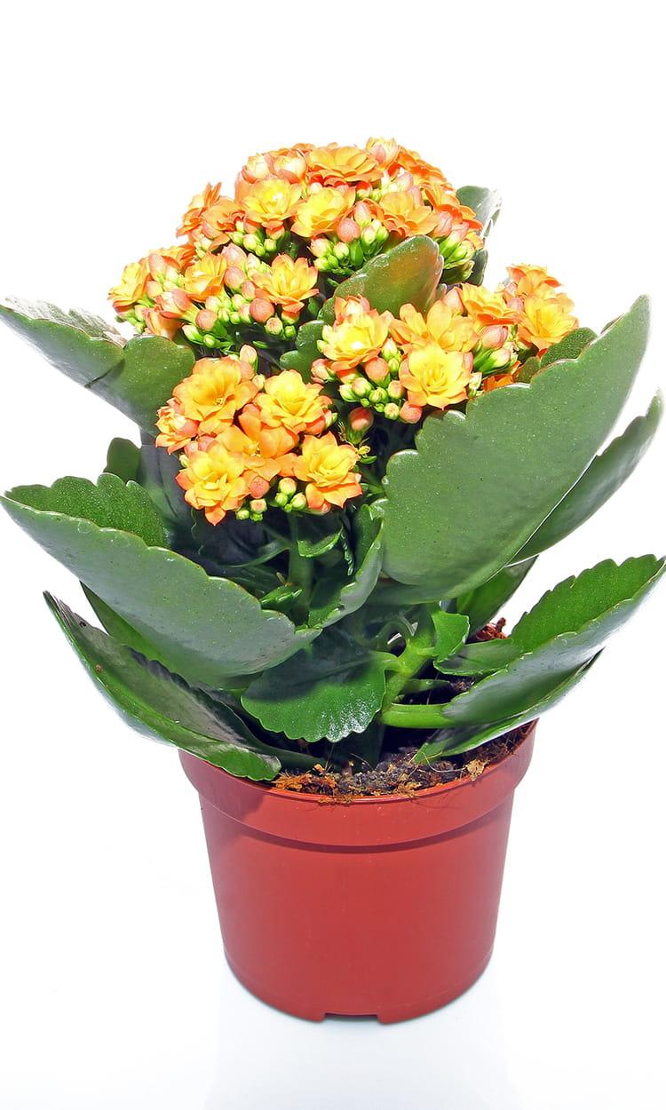 Le kalancho ou la plante grasse d corative 15 plantes grasses pour d corer votre int rieur - Deco plante grasse ...