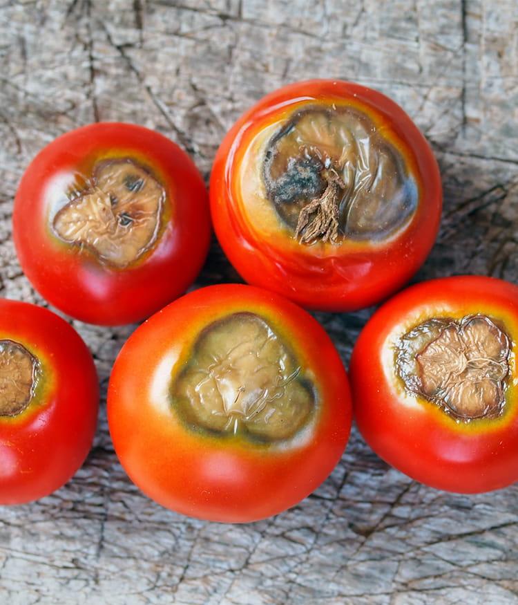 tomates noires et carottes fendues plantes ab m es reconna tre les maladies et les soigner. Black Bedroom Furniture Sets. Home Design Ideas