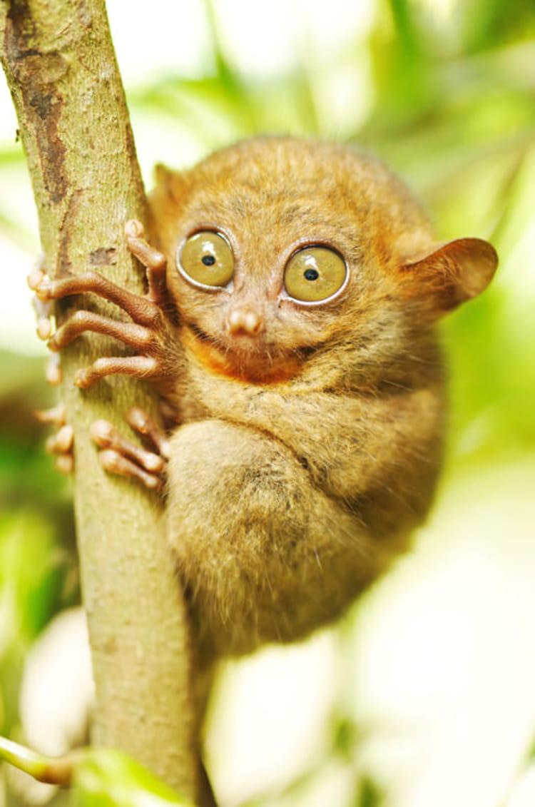 Le tarsier et ses yeux normes 20 animaux tranges et - Animaux a gros yeux ...