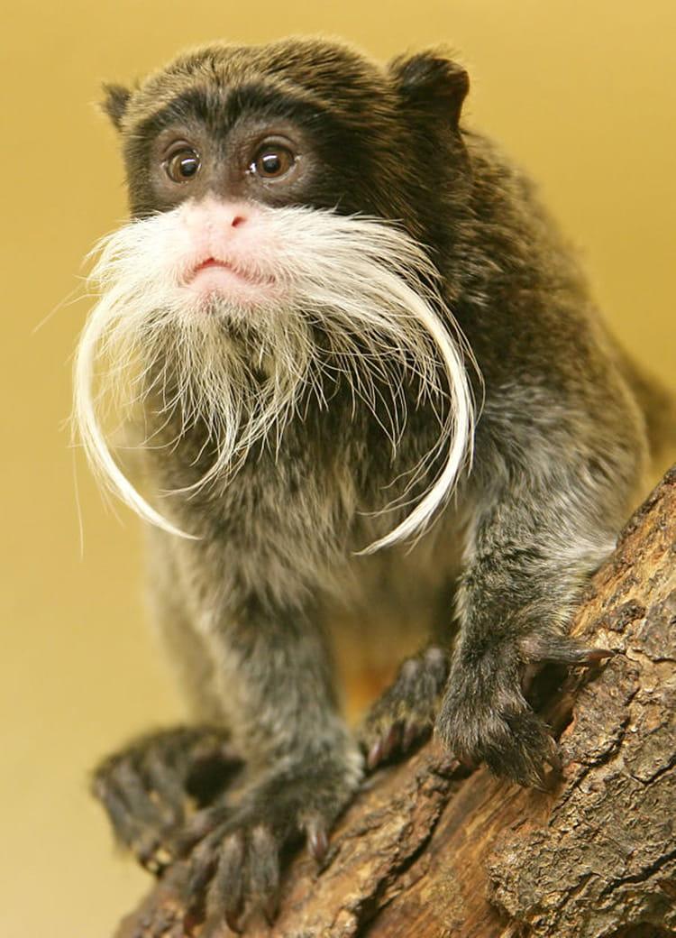 Le tamarin empereur et sa grosse moustache - Le singe d aladdin ...