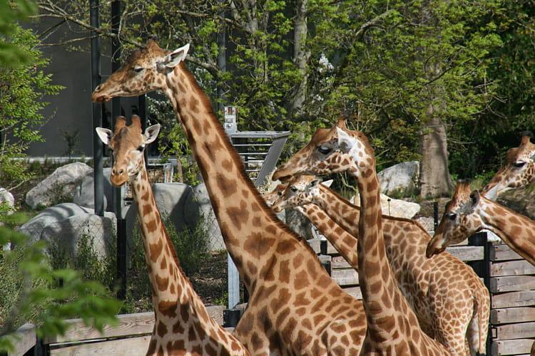 Les girafes d'Afrique de l'Ouest