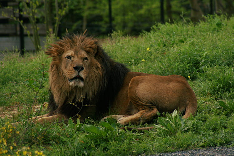 Nero, roi du zoo de Vincennes