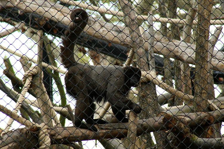 Le singe laineux
