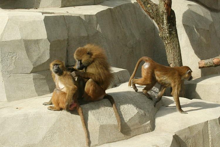 Le territoire des babouins de Guinée