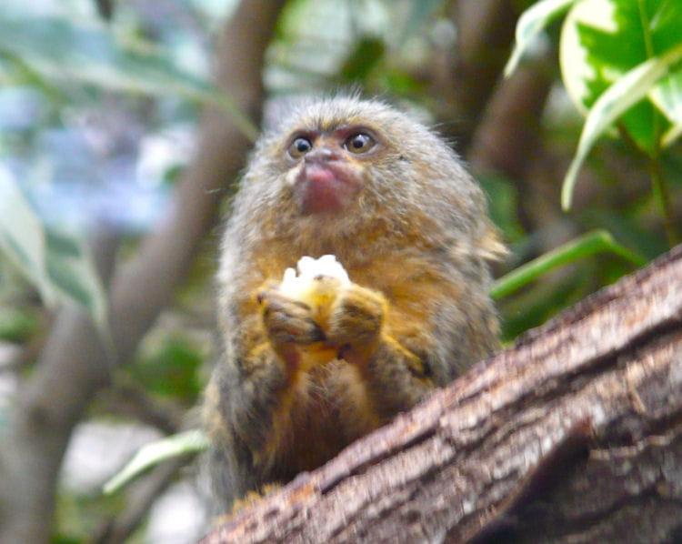 Le ouistiti singe miniature les animaux les plus - Le singe d aladdin ...
