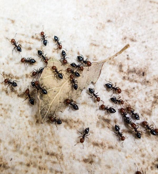 repoussez les fourmis. Black Bedroom Furniture Sets. Home Design Ideas