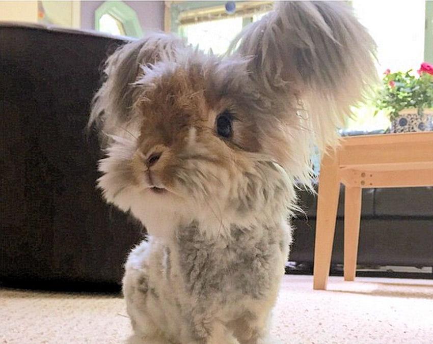 Wally le lapin et ses oreilles touffues la nouvelle star - Photo de lapin mignon ...