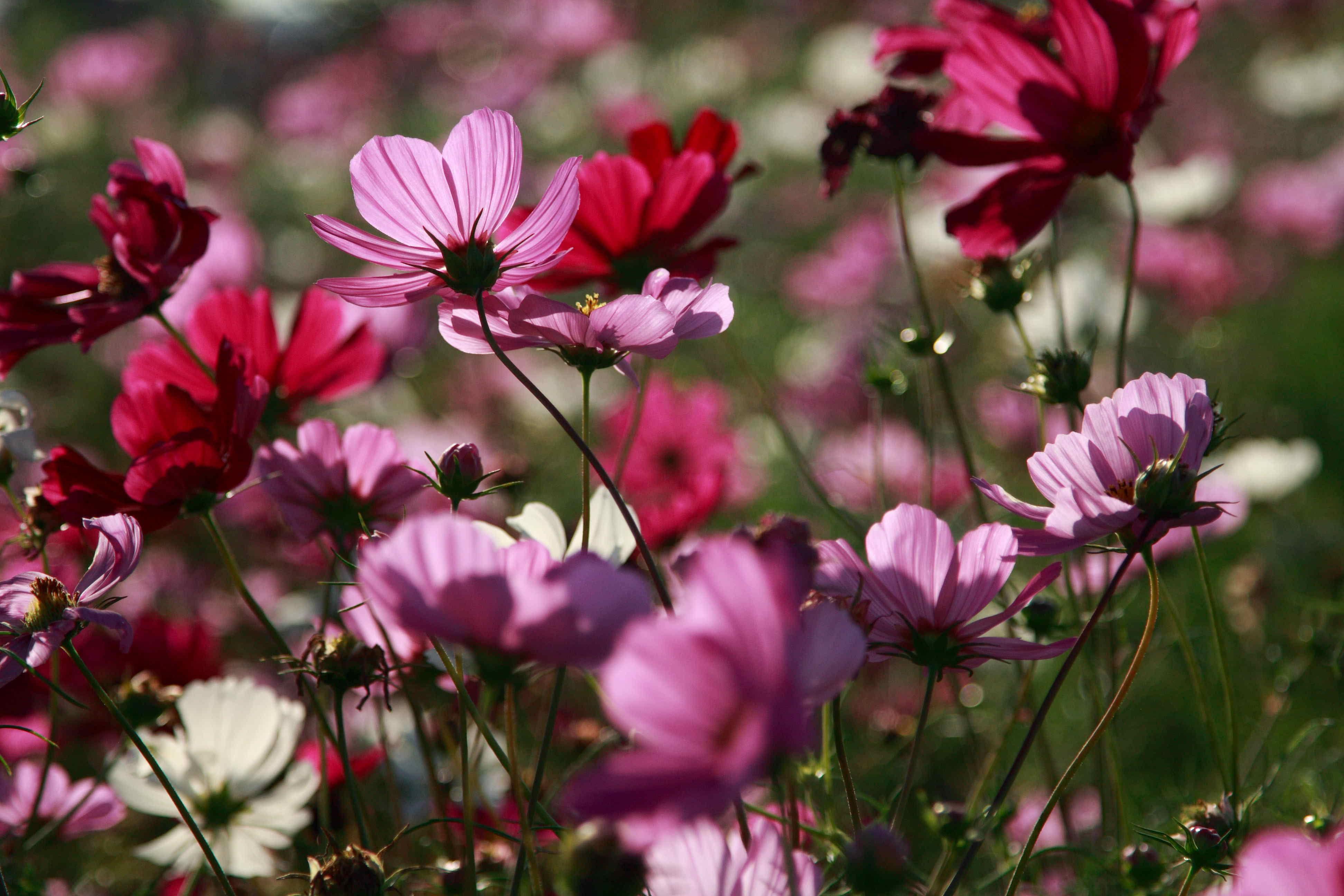 Jach re fleurie - Fleur de jachere ...