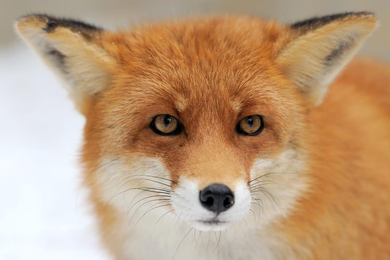 Le renard roux aux portes des villes 20 animaux - Immagini di volpe spugna a colori ...