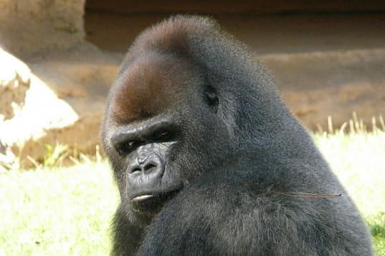 le gorille de l 39 ouest 20 esp ces en danger linternaute. Black Bedroom Furniture Sets. Home Design Ideas