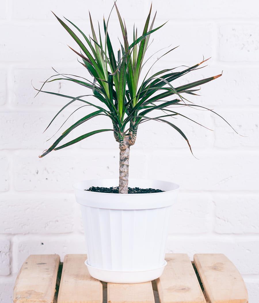 le dracaena l 39 arme fatale anti tabac ces plantes d polluantes pour votre int rieur linternaute. Black Bedroom Furniture Sets. Home Design Ideas