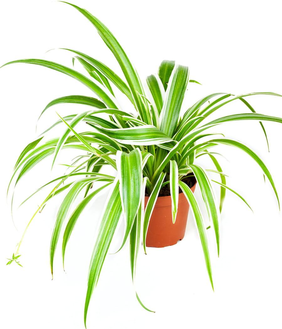 le chlorophytum int gralement d polluant ces plantes d polluantes pour votre int rieur. Black Bedroom Furniture Sets. Home Design Ideas
