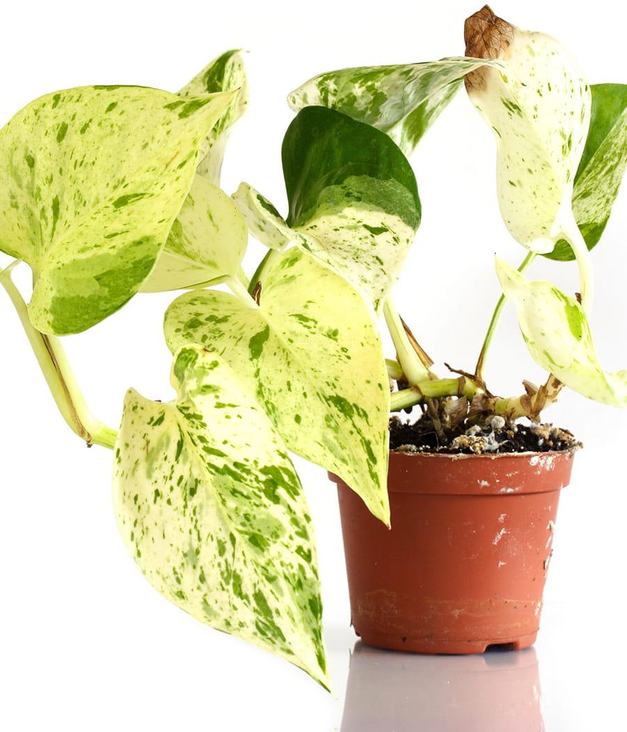 le pothos aussi beau qu 39 efficace ces plantes d polluantes pour votre int rieur linternaute. Black Bedroom Furniture Sets. Home Design Ideas
