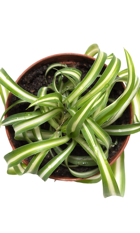 Le Chlorophytum La Plante Grasse D Polluante