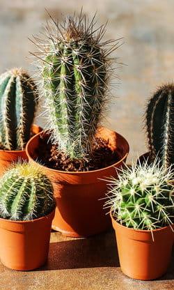 le cactus pour une touche d 39 exotique dans votre maison 15 plantes grasses pour d corer votre. Black Bedroom Furniture Sets. Home Design Ideas