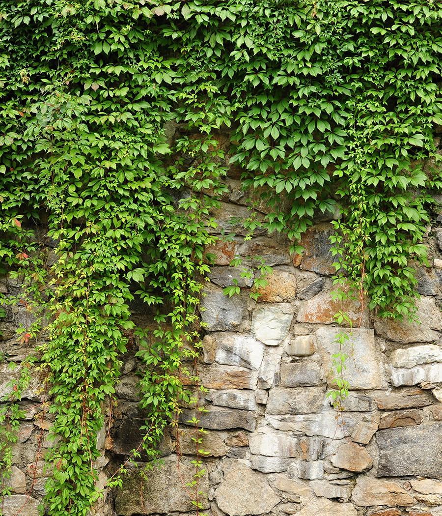 Laisser pousser le lierre sur un mur s parateur comment - Comment se debarrasser du lierre ...