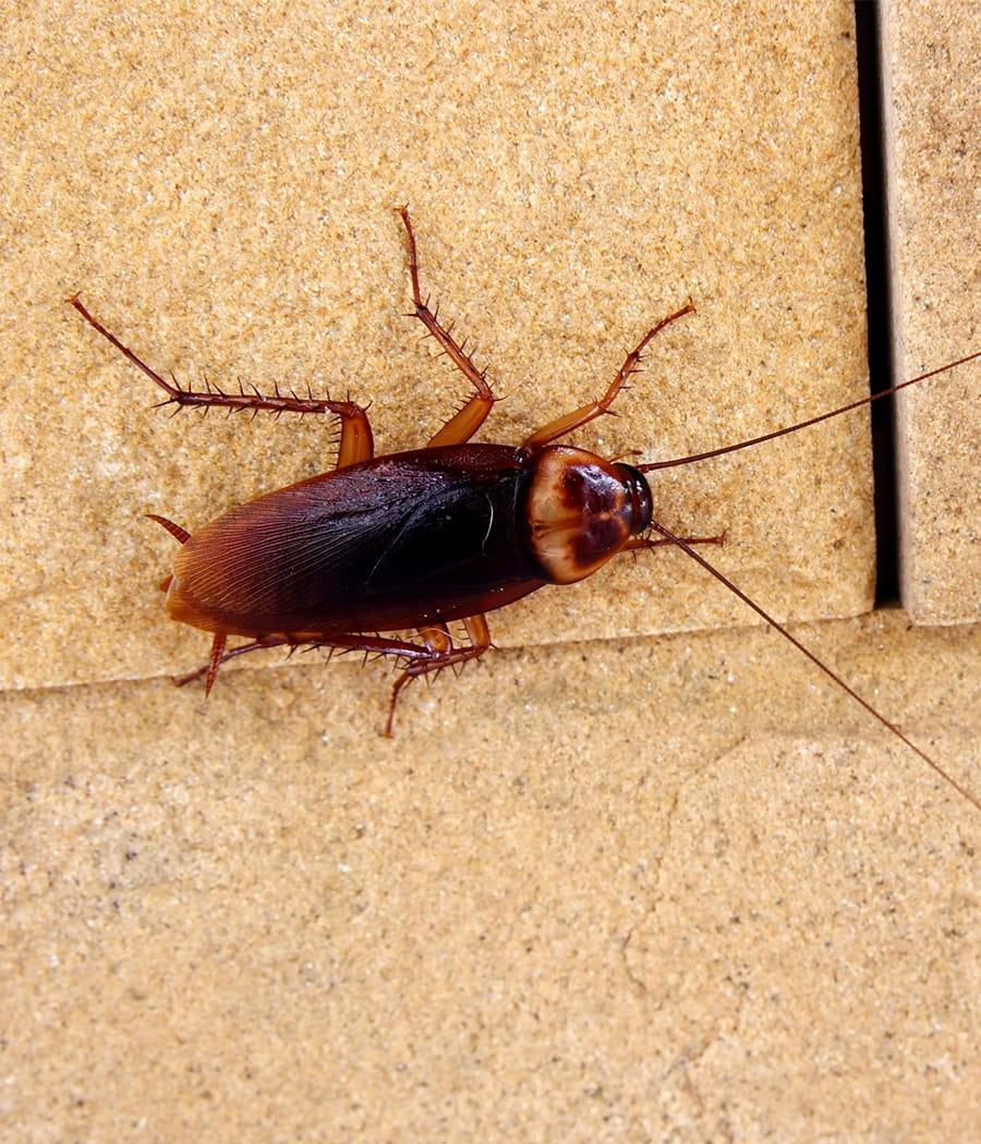 remplacer l 39 insecticide contre les blattes par une recette faite maison adieu pesticides des. Black Bedroom Furniture Sets. Home Design Ideas