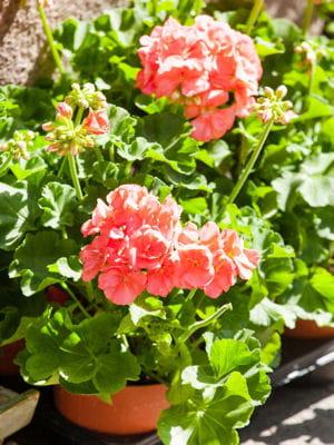 Bouturer les g raniums de vos fen tres comment redonner for Comment arroser les geraniums