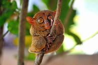 tarsier alice aubert