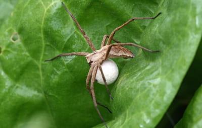 Les araign es pondent elles sous la peau christine for Qui portent des oeufs