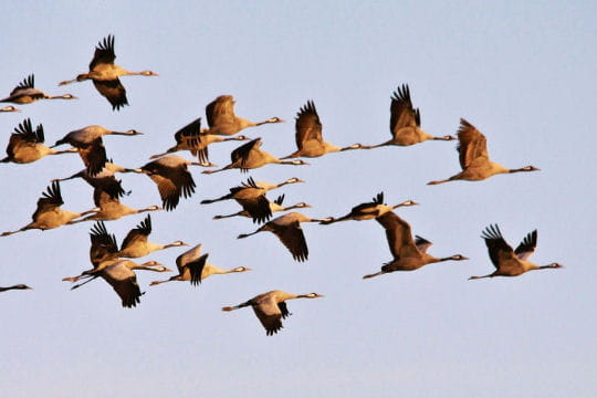 Mais où est Uccen ???  - Page 2 1124209-envol-avec-les-oiseaux-migrateurs