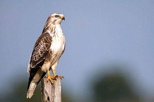 buse variable   envol avec les oiseaux migrateurs