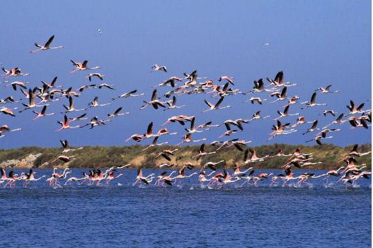 Flamants roses envol avec les oiseaux migrateurs - Flamant rose camargue ...